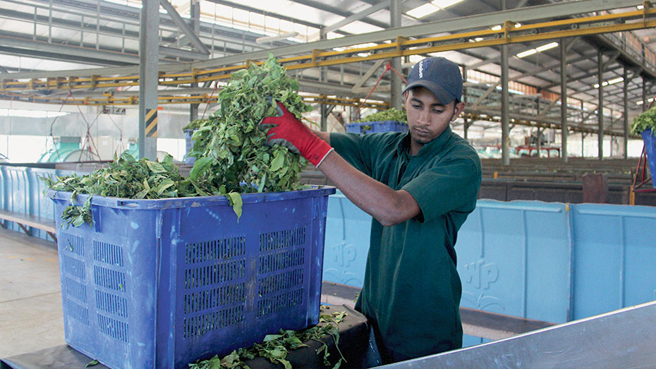 A worker on the second floor of Waltrim Factory unloads withered tea leaf through a chute into the rolling machine downstairs. Every employee at Waltrim is expected to understand the importance of standard procedure in determining the profitability of their business.
